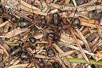 Rote Waldameise, Große Rote Waldameise, Waldameisen, Formica rufa, wood ant