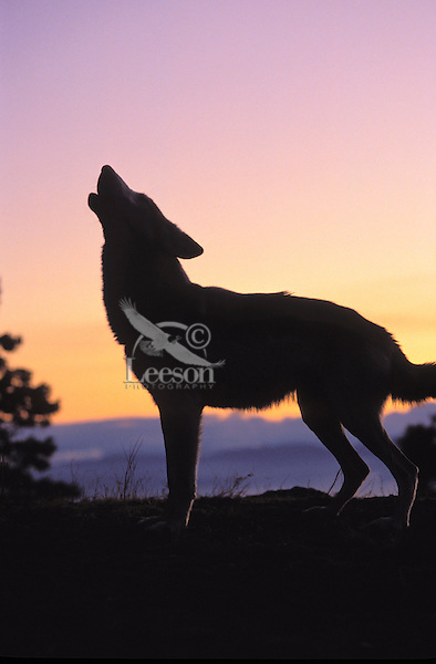 Gray Wolf howling at sunrise (Canis lupus). Rocky Mountains.