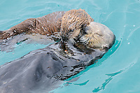 Alaskan or Northern Sea Otter (Enhydra lutris) mom sharing food with her pup.