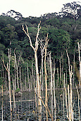 Para State, Amazon, Brazil; dead rainforest trees, drowned due to development and pollution.