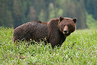 Grizzly Bear standing and watching amongst the grass and rain