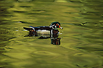 A male wood duck swims in the waters in Vancouver, British Columbia, Canada.