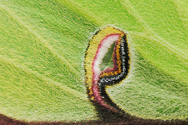 Luna Moth (Actias luna), close up of eyespots on front wings, New Braunfels, Texas, USA