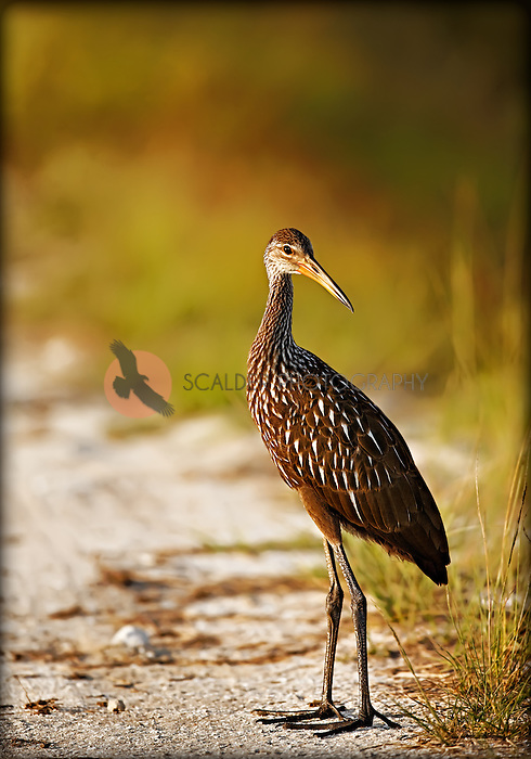 Limpkin standing in sand on shore in Viera