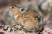 "American pika (Ochotona princeps) calling.  Beartooth Mountains, Wyoming/Montana border.  Summer.  The name Pika comes from the way Siberian Tungus people say the sound of a Pika's call--""peeeka""--an onomatopoeic word.  Most americans say ""Pieka,"" but the rest of the world pronounces it ""Peeka."""
