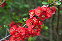 Flowering or Japanese quince (Chaenomeles x superba 'Crimson And Gold'), mid March.