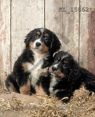 Interlitho, Alberto, ANIMALS, dogs, photos, 2 puppies(KL15862,#A#) Hunde, perros