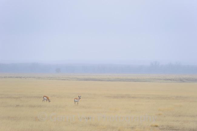Pronghorn (Antilocapra americana) on misty prairie. Southeast Colorado. April.