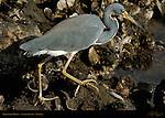 Tricolored Heron, Louisiana Heron, Egretta tricolor, Sanibel Island, Florida
