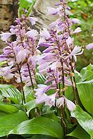 Hosta Invincible in bloom