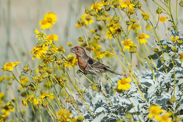 Male House Finch (Haemorhous mexicanus) feeding on Brittlebush or brittlebrush (Encelia farinosa) plant.  Sonoran Desert, CA.  February.