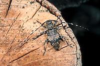 Braungrauer Splintbock, Nebelfleckbock, Braungrauer Laubholzbock, Leiopus nebulosus, Cerambyx nebulosus, Black clouded longhorn beetle, Black-clouded longhorn beetle