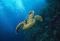 Hawksbill turtle<br /> Eretmochelys imbriocota<br /> Virgin Islands