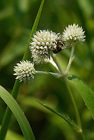 Bumble Bee (genus Bombus) on flowers of Rattlesnake Master (Eryngium yuccifolium). Native to North America, this wildflower species can be found in prairies and other dry sites. It's species name, yuccifolium, refers to it's yucca-like, sword-shapes leaves.
