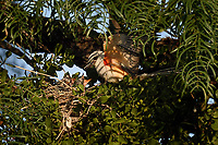 Scissor-tailed Flycatcher feeding young in nest, San Angelo