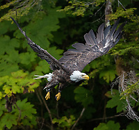 A Bald Eagle takes off and flies through the trees.
