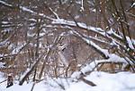 Canadian lynx, Montana, USA