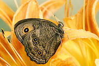 Wood nymph butterfly with interesting and expressive face sits on on orange daylily.