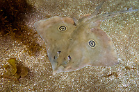 Velez Ray aka velez skate, Raja velezi, La Paz Bay, Sea of Cortez, Baja California Sur, Mexico. Composite image.