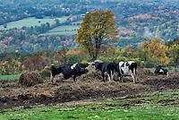 Steer graze on hay in a hilly autumn pasture, Watkins Glen, New York, USA