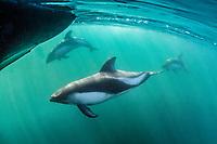 Peale's dolphin, Lagenorhynchus australis, adult, New Island, Falkland Islands, South Atlantic Ocean