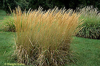HS63-013d  Ornamental - Grass Korean Feather Calamagrostis arundinaceae.