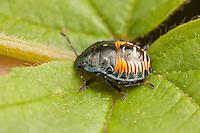 A Two-spotted Stink Bug (Perillus bioculatus) nymph on a leaf.