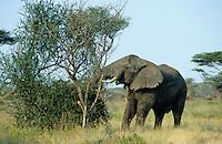 TANZANIA wildlife sanctuary Serengeti , elephants in search for fodder / TANSANIA Nationalpark Serengeti , Elefanten auf Nahrungssuche