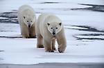 Polar bears walking on ice, Canada
