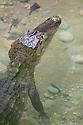 Spectacled Caiman {Caiman crocodilus}, Corcovado National Park, Osa Peninsula, Costa Rica, May.
