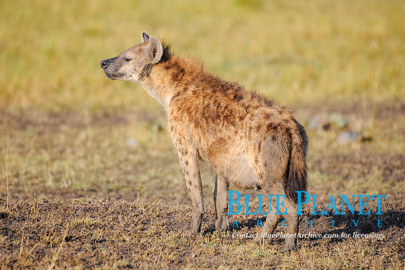 Spotted hyena (Crocuta crocuta), pregnant adult, Masai Mara, Kenya, Africa