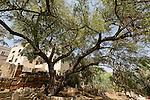 T-083 Jujube tree in Sachnin