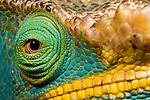 Close up study. Male Parson's Chameleon (Calumma parsonii). Ranomafana National Park, eastern Madagascar.
