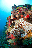 An octopus on the reef at North Star St. Croix US Virgin Islands