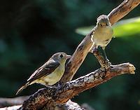 Hutton's vireo pair. Are these birds now nesting close to San Antonio?