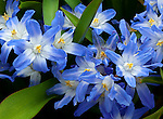 Detail of Glory of the Snow (Chionodoxa luciliae) an early spring flower