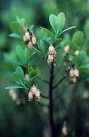 Rauschbeere, Rausch-Beere, Moorbeere, Trunkelbeere, Blüten, Vaccinium uliginosum, Bog Bilberry, Bog Wortleberry
