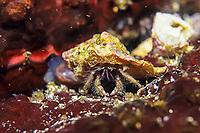 hermit crab, Pagurus minutus, Izu ocean park, Sagami bay, Izu peninsula, Shizuoka, Japan, Pacific Ocean
