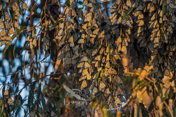 Western Monarch Butterflies (Danaus plexippus) in wintering cluster, coastal California.