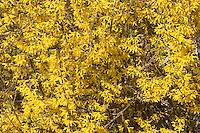 Forsythie im Garten, Goldglöckchen, Hybrid-Forsythie, Garten-Forsythie, Forsythia x intermedia, Ziergehölz