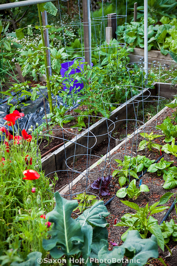 Raised bed intensive, small organic vegetable garden with lettuces between wire support cages for peppers and drip irrigation lines; MUST CREDIT: Elvin Bishop Garden
