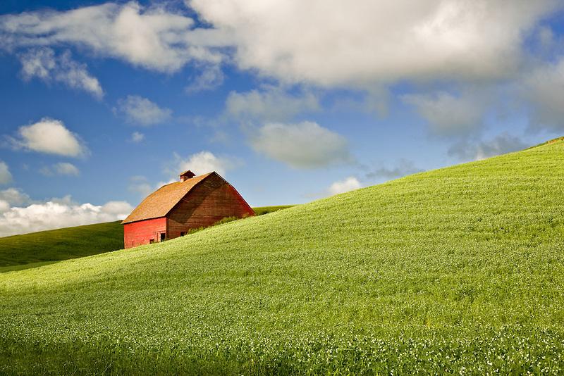 Barn in field of blooming peas. The Palouse, Washington