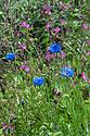 Cornflowers (Centaurea cyanus) and Red campion (Silene dioica), Vann House and Garden, Surrey, mid June.