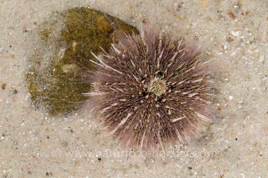 Rundstacheliger Seeigel, Rundstachliger Seeigel, Dröbachs Seeigel, Grüner Seeigel, Strongylocentrotus droebachiensis, Green sea urchin, Northern sea urchin, Sea egg