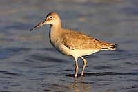 Adult willet in winter plumage wading at beach