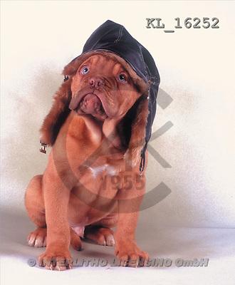 Interlitho, Alberto, ANIMALS, dogs, photos, bulldog, cap(KL16252,#A#) Hunde, perros