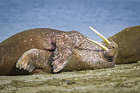 Atlantic walrus, Odobenus rosmarus rosmarus, sleeping, resting on the beach, Spitsbergen, Svalbard, Norway, Arctic Ocean