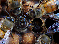 The birth of drones in a brood surrounded by nurse bees. The drone is born 24 days after the egg is laid and it lives approximately 50 days. The drone is the only fertile depositary of the queen's genes. It is responsible for the transmission of the genes from the queen (its mother). Like all the bees, three days after the eggs have hatched the drone larvae are first fed royal jelly. Then, the nurse bees change the food to a mix of honey and pollen. Unlike the diet of the worker bee larvae, that of the drones includes more honey.<br /> Naissance d'un faux-bourdon sur le couvain entouré de nourrices. Le faux-bourdon naît 24 jours après la ponte et il vit 50 jours environ. Le Faux bourdon est le seul dépositaire fertile des gènes de la reine. Il est le garant de la transmission des gènes de la reine (sa mère). Comme toutes les abeilles, les larves de faux-bourdons sont d'abord nourries de gelée royale trois jours après l'éclosion de leurs œufs. Ensuite, les nourrices vont changer cette nourriture en mélange de miel et de pollen. Contrairement à l'alimentation des larves ouvrières, celle des faux-bourdons comportera plus de miel.