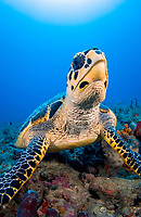 hawksbill sea turtle, Eretmochelys imbricata, critically endangered species, Palm Beach, Florida, USA, Atlantic Ocean