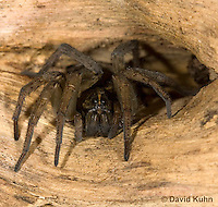 1006-0905  Wolf Spider, Emerging from Tunnel, Hogna spp. [formerly Lycosa spp.]  © David Kuhn/Dwight Kuhn Photography